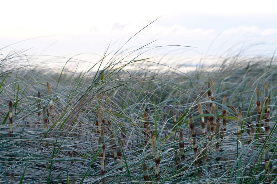 Cannon-Beach-Grasses