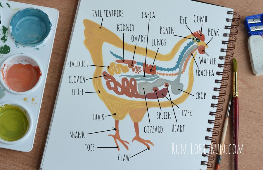 CHICKEN-DIAGRAM-FOR-THE-WEB